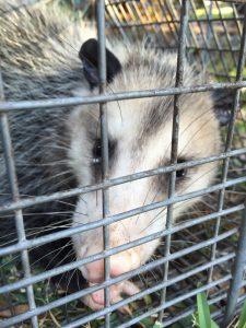 Jacksonville possum removal