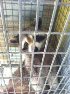 Jacksonville raccoon control