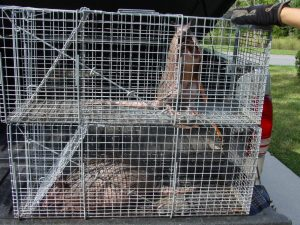 Jacksonville armadillo removal